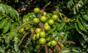 taun wood fruit